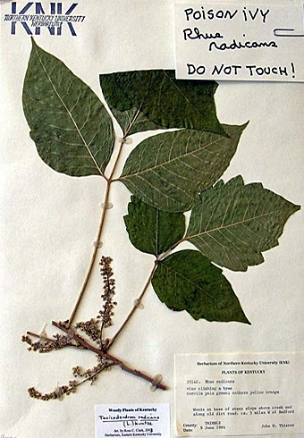 Toxicodendron Radicans (Poison Ivy)